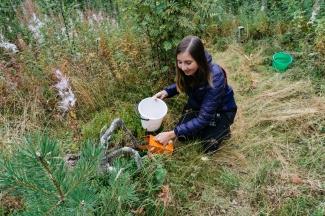Lingonberry picking Sweden